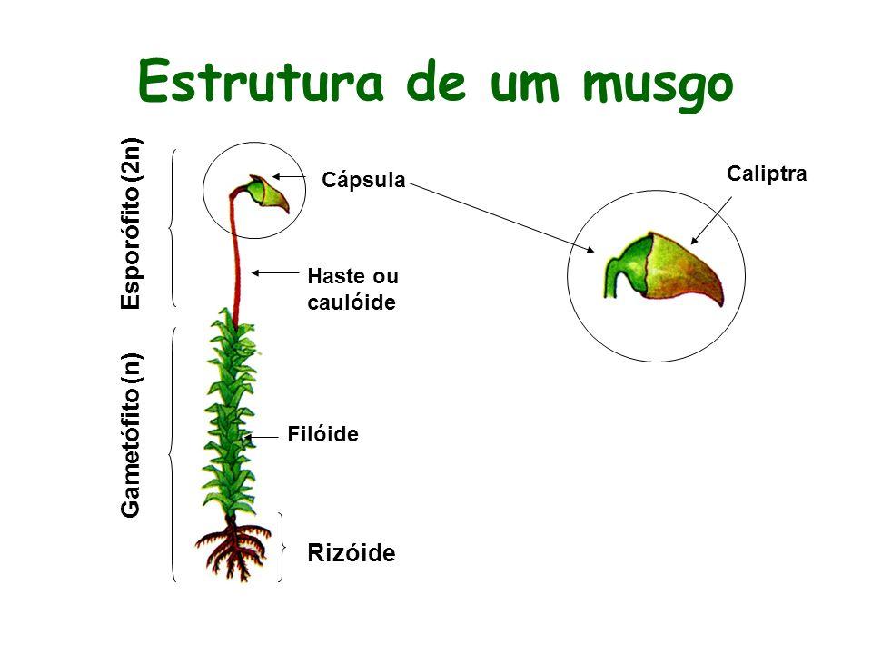 O esporófito surge sobre o gametófito, que é a fase duradoura do ciclo. Fase G>E O gameta masculino é o anterozóide e o feminino é a oosfera. As brióf