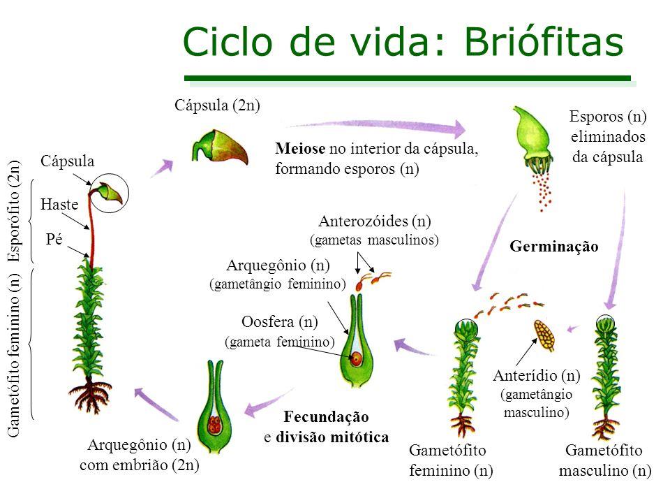 Estrutura de um musgo Gametófito (n) Esporófito (2n) Rizóide Cápsula Haste ou caulóide Filóide Caliptra
