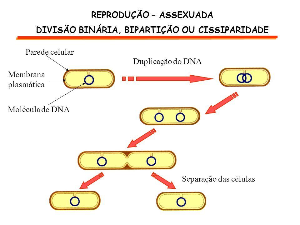 Duplicação do DNA Separação das células Parede celular Membrana plasmática Molécula de DNA REPRODUÇÃO – ASSEXUADA DIVISÃO BINÁRIA, BIPARTIÇÃO OU CISSI