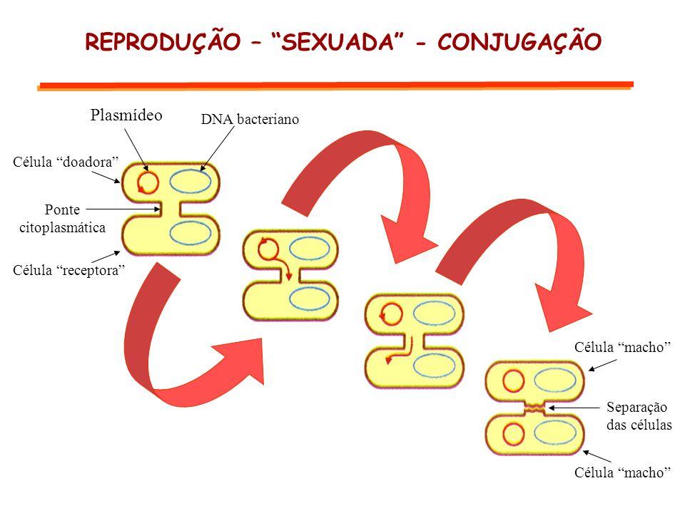 Plasmídeo DNA bacteriano Ponte citoplasmática Célula receptora Célula doadora Separação das células Célula macho REPRODUÇÃO – SEXUADA - CONJUGAÇÃO