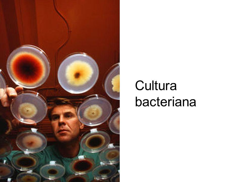 Cultura bacteriana
