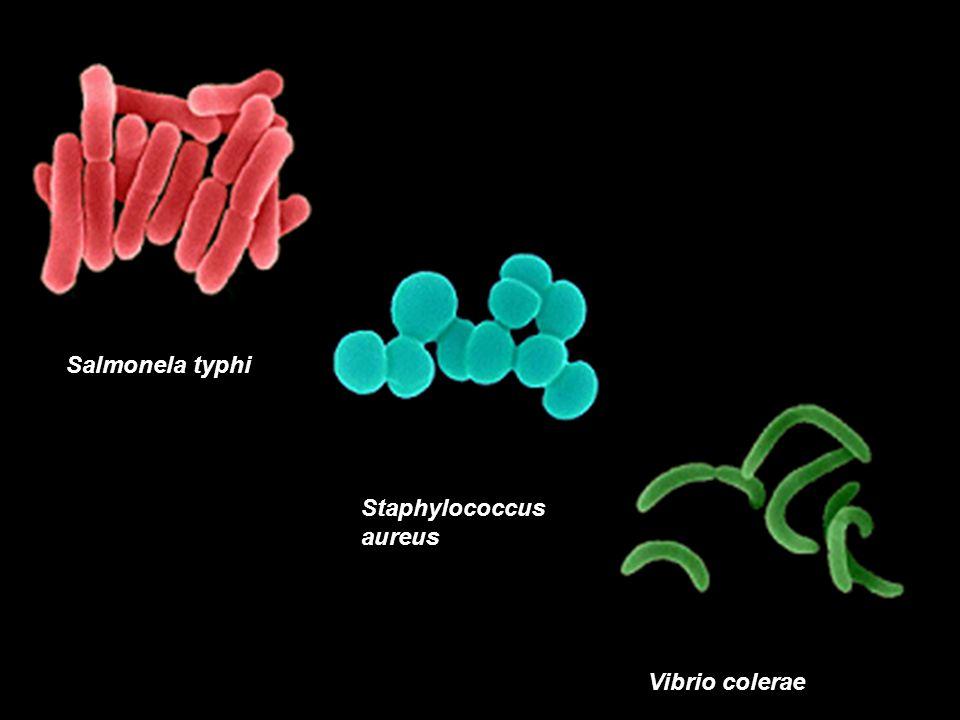 Streptococcus pneumoniae Bacillus anthracis Neisseria meningitidis