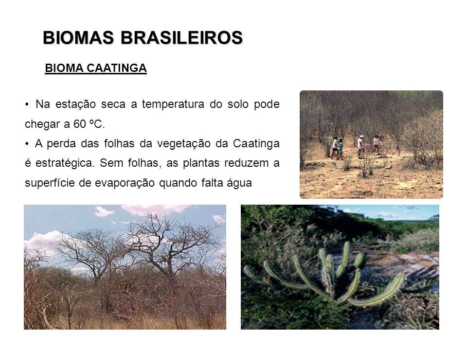 BIOMAS BRASILEIROS Na estação seca a temperatura do solo pode chegar a 60 ºC. A perda das folhas da vegetação da Caatinga é estratégica. Sem folhas, a