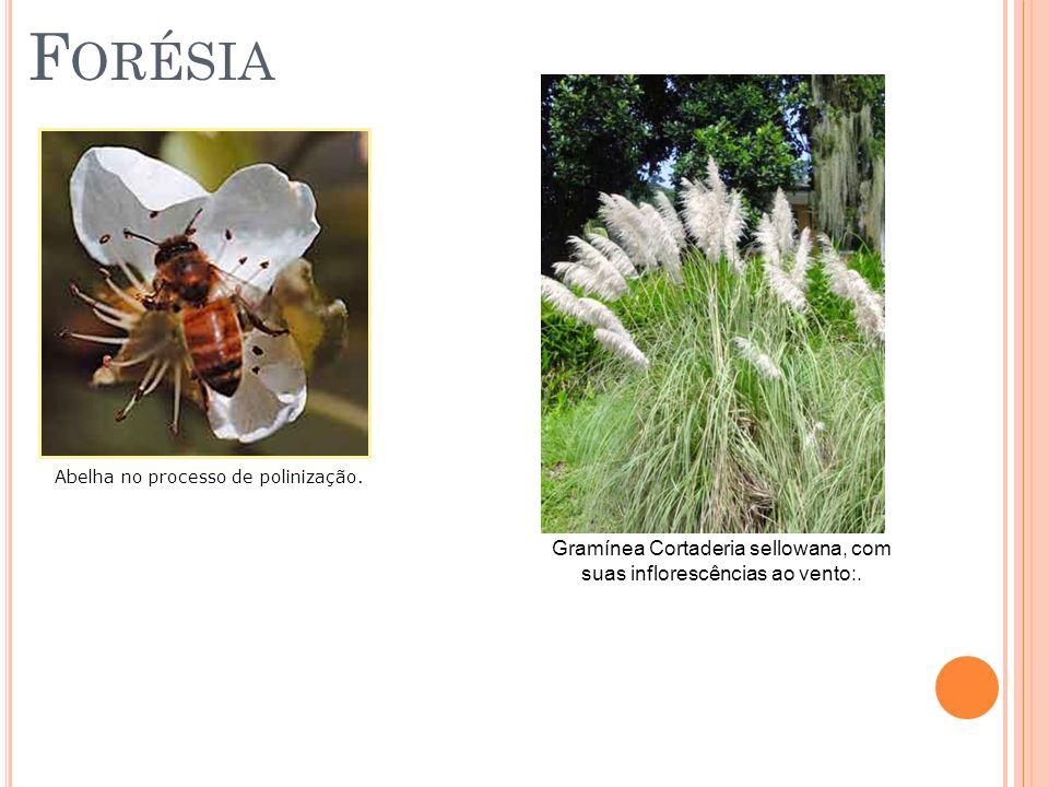 F ORÉSIA Abelha no processo de polinização. Gramínea Cortaderia sellowana, com suas inflorescências ao vento:.
