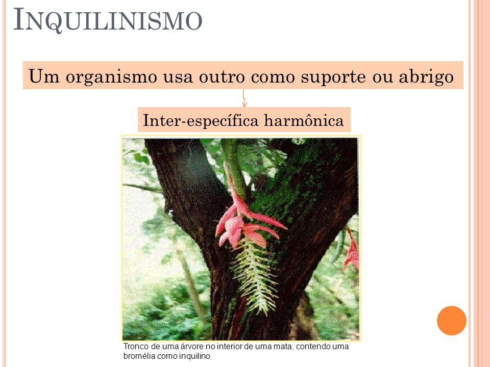 I NQUILINISMO Um organismo usa outro como suporte ou abrigo Inter-específica harmônica Tronco de uma árvore no interior de uma mata, contendo uma brom