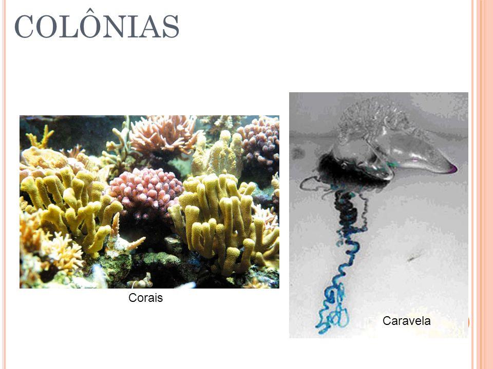 COLÔNIAS Corais Caravela