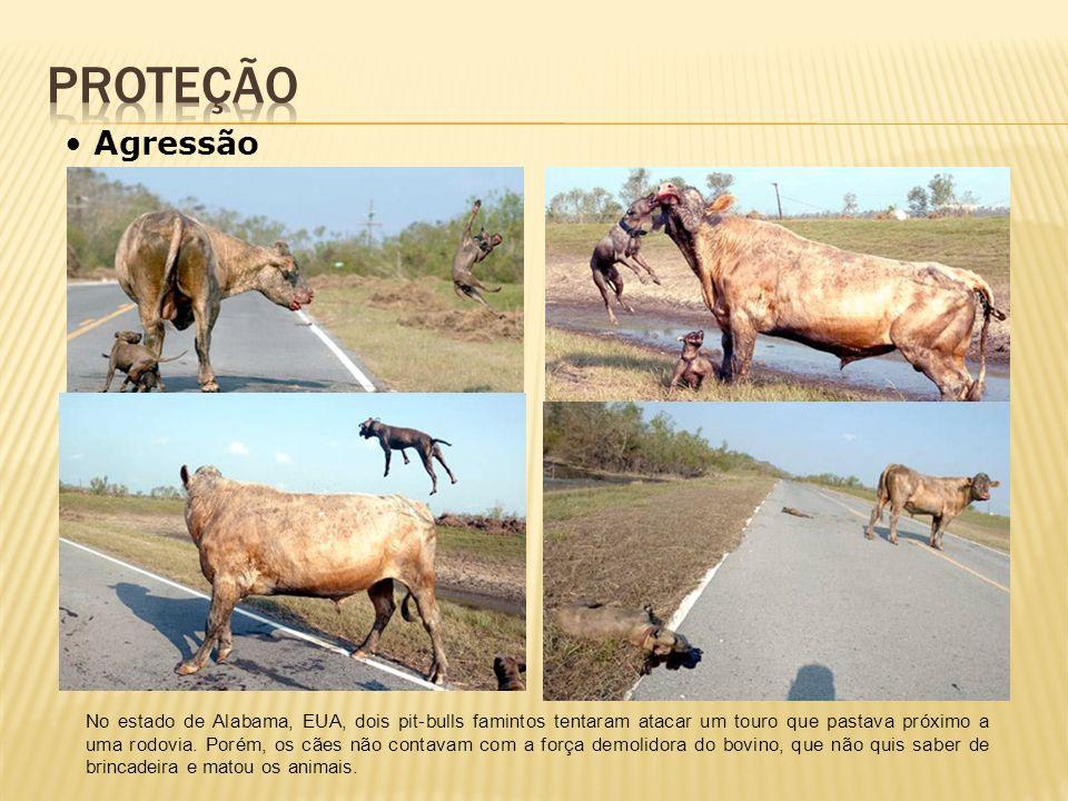 No estado de Alabama, EUA, dois pit-bulls famintos tentaram atacar um touro que pastava próximo a uma rodovia. Porém, os cães não contavam com a força