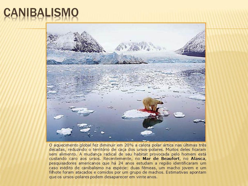 O aquecimento global fez diminuir em 20% a calota polar ártica nas últimas três décadas, reduzindo o território de caça dos ursos-polares. Muitos dele