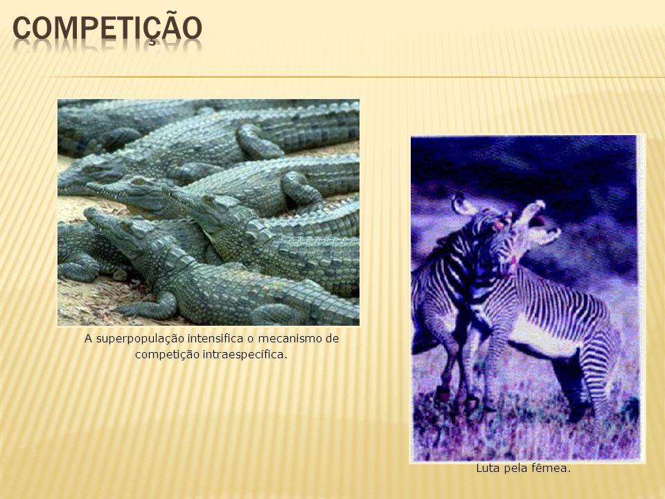 Luta pela fêmea. A superpopulação intensifica o mecanismo de competição intraespecífica.