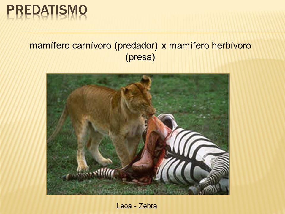 mamífero carnívoro (predador) x mamífero herbívoro (presa) Leoa - Zebra