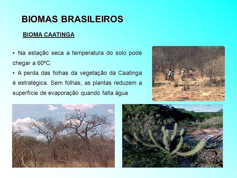 BIOMAS BRASILEIROS Na estação seca a temperatura do solo pode chegar a 60ºC. A perda das folhas da vegetação da Caatinga é estratégica. Sem folhas, as
