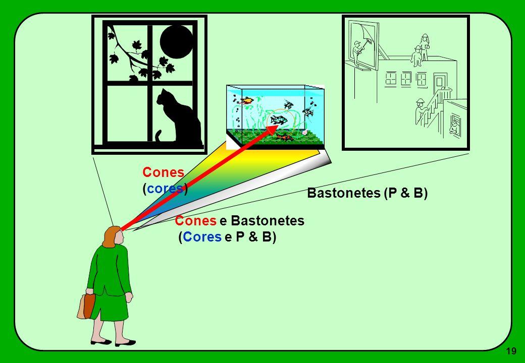 19 Bastonetes (P & B) Cones e Bastonetes (Cores e P & B) Cones (cores)