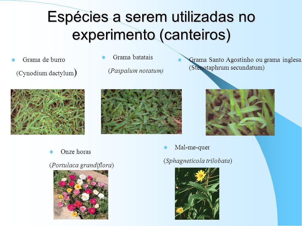 Espécies a serem utilizadas no experimento (canteiros) Grama de burro (Cynodium dactylum ) Grama batatais (Paspalum notatum) Grama Santo Agostinho ou