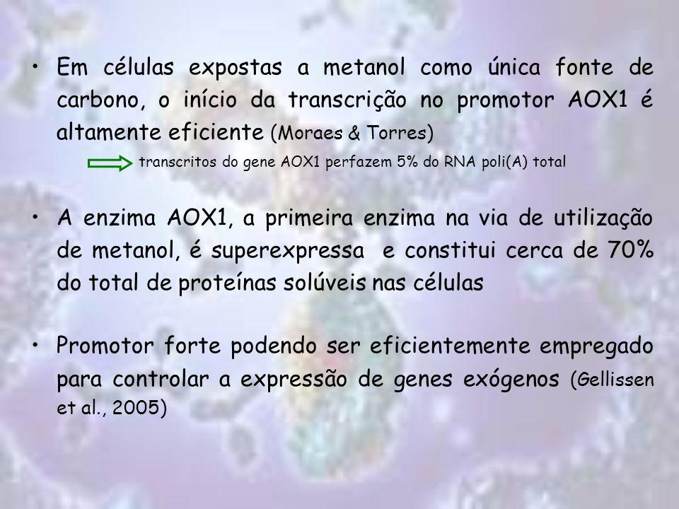 Em células expostas a metanol como única fonte de carbono, o início da transcrição no promotor AOX1 é altamente eficiente (Moraes & Torres) transcrito