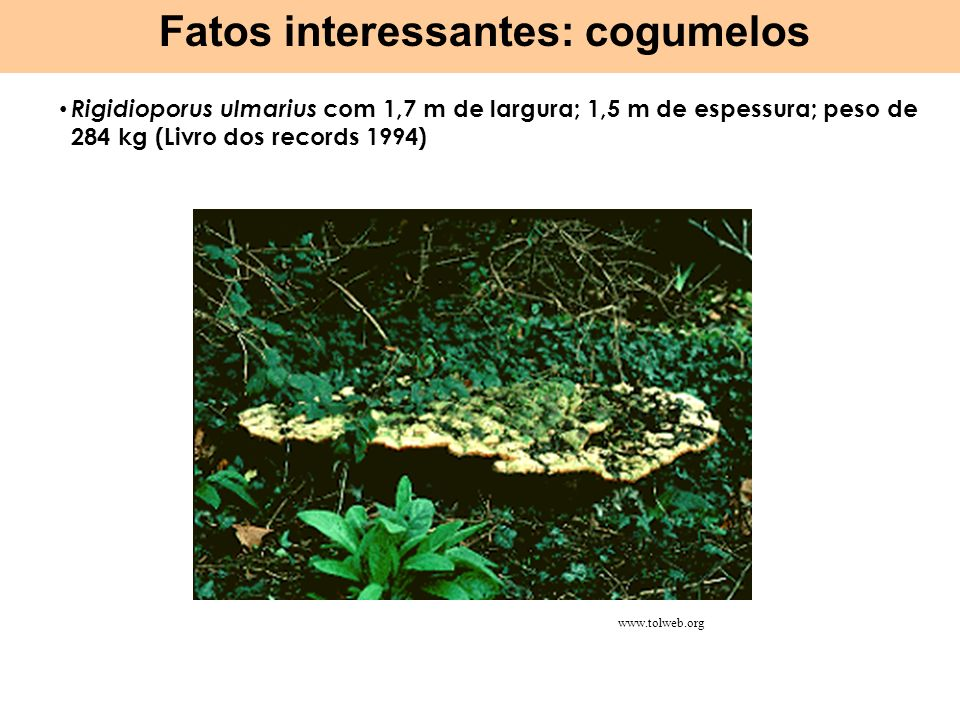 Rigidioporus ulmarius com 1,7 m de largura; 1,5 m de espessura; peso de 284 kg (Livro dos records 1994) Fatos interessantes: cogumelos http://upload.w