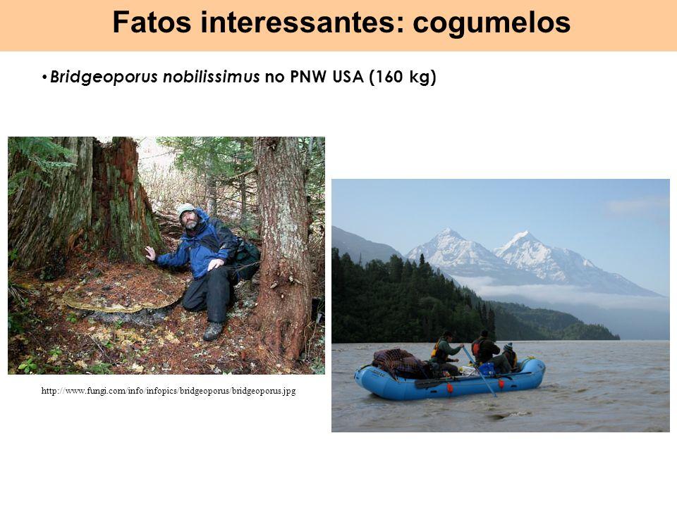 Bridgeoporus nobilissimus no PNW USA (160 kg) Fatos interessantes: cogumelos http://www.fungi.com/info/infopics/bridgeoporus/bridgeoporus.jpg