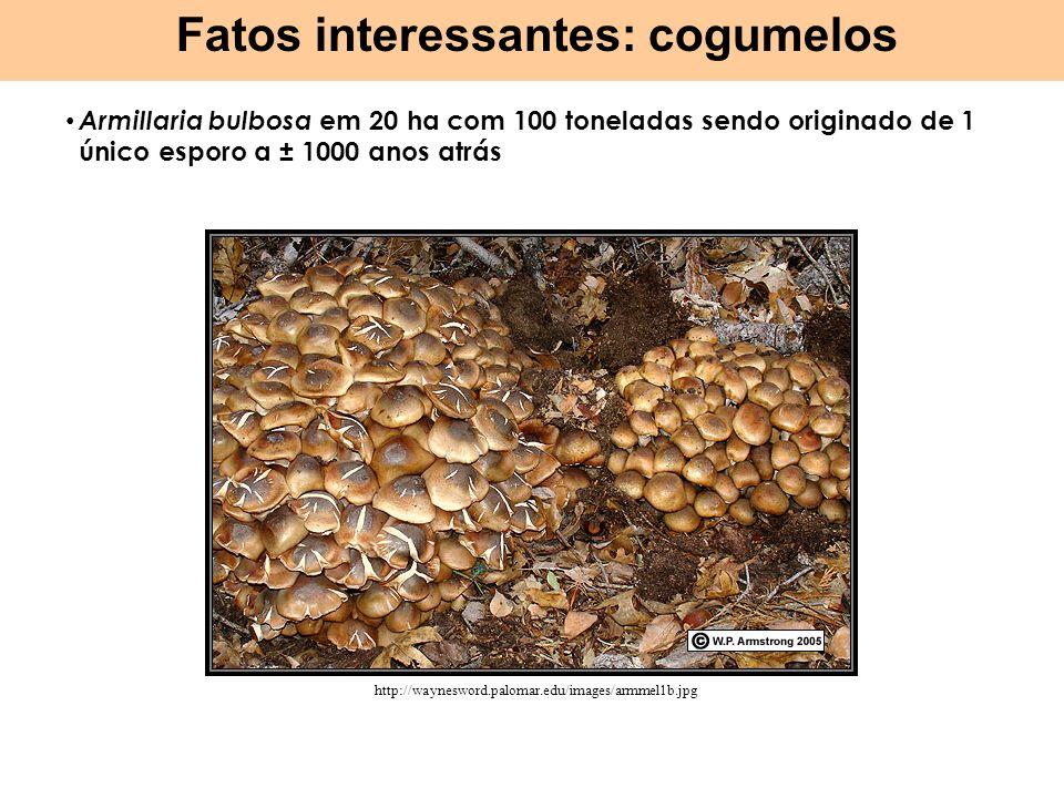 Armillaria bulbosa em 20 ha com 100 toneladas sendo originado de 1 único esporo a ± 1000 anos atrás Fatos interessantes: cogumelos http://waynesword.p
