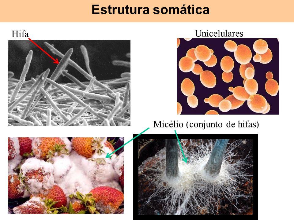 Hifas Micélio (conjunto de hifas) Unicelulares Hifa Estrutura somática