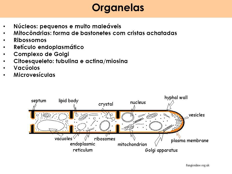 Organelas Núcleos: pequenos e muito maleáveis Mitocôndrias: forma de bastonetes com cristas achatadas Ribossomos Retículo endoplasmático Complexo de G