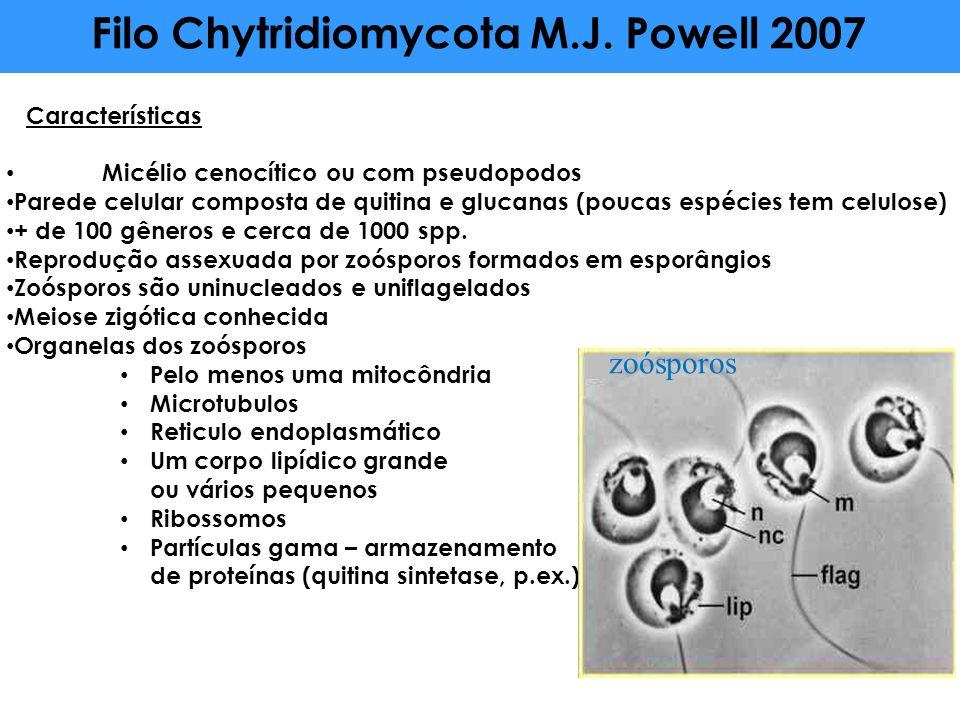 Filo Chytridiomycota M.J. Powell 2007 Características Micélio cenocítico ou com pseudopodos Parede celular composta de quitina e glucanas (poucas espé