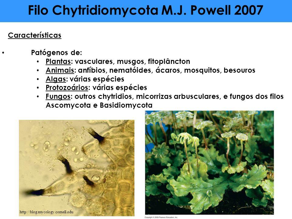 Filo Chytridiomycota M.J. Powell 2007 Características Patógenos de: Plantas: vasculares, musgos, fitoplâncton Animais: anfíbios, nematóides, ácaros, m