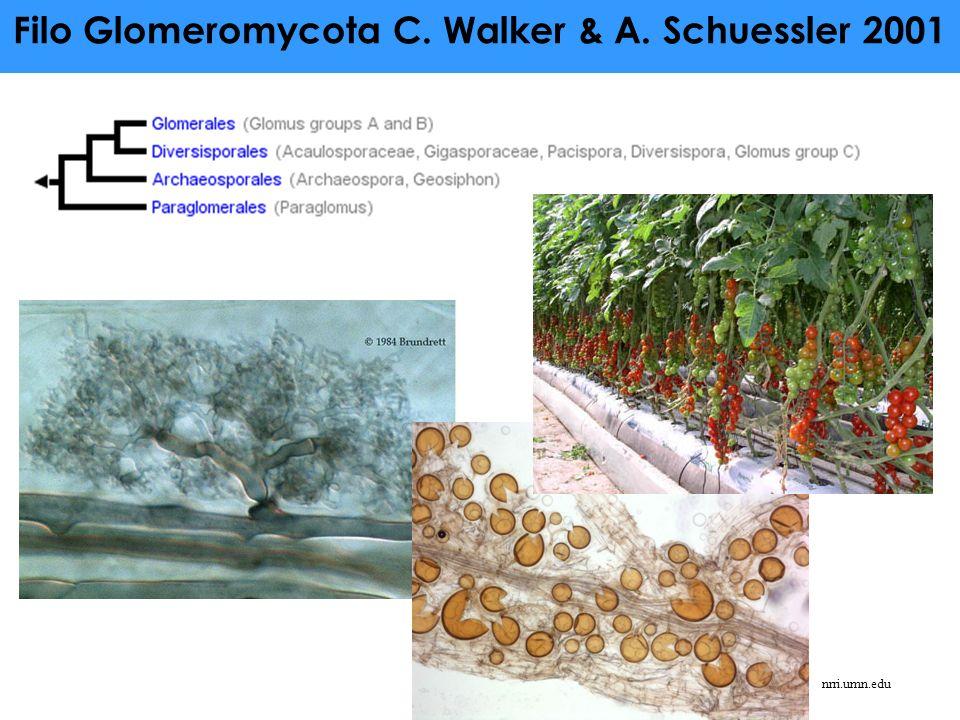 Filo Glomeromycota C. Walker & A. Schuessler 2001 nrri.umn.edu