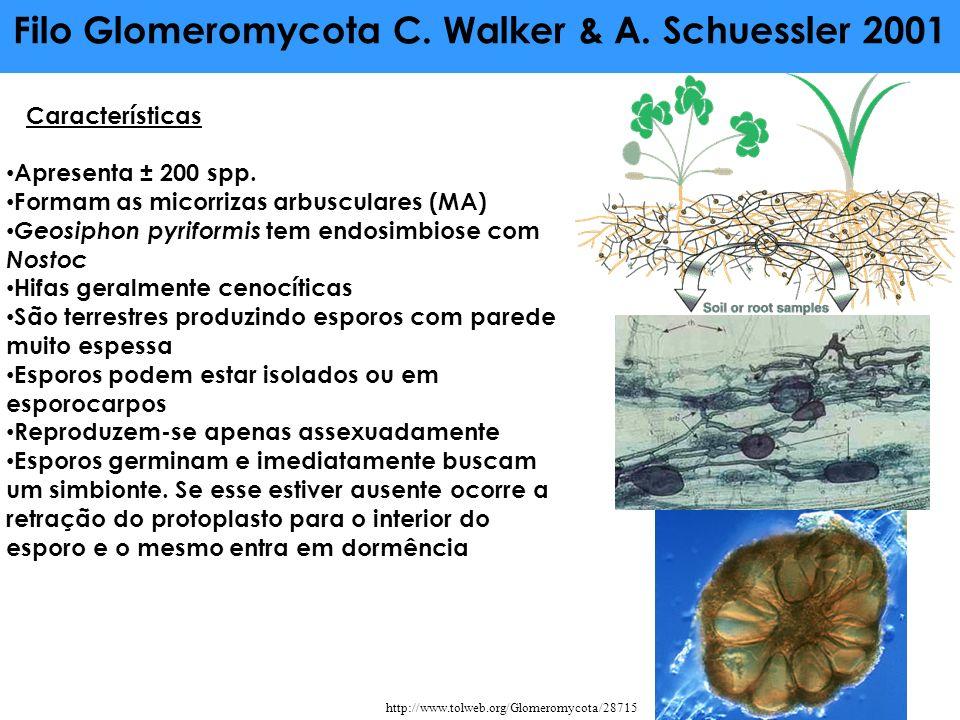 Filo Glomeromycota C. Walker & A. Schuessler 2001 Características Apresenta ± 200 spp. Formam as micorrizas arbusculares (MA) Geosiphon pyriformis tem