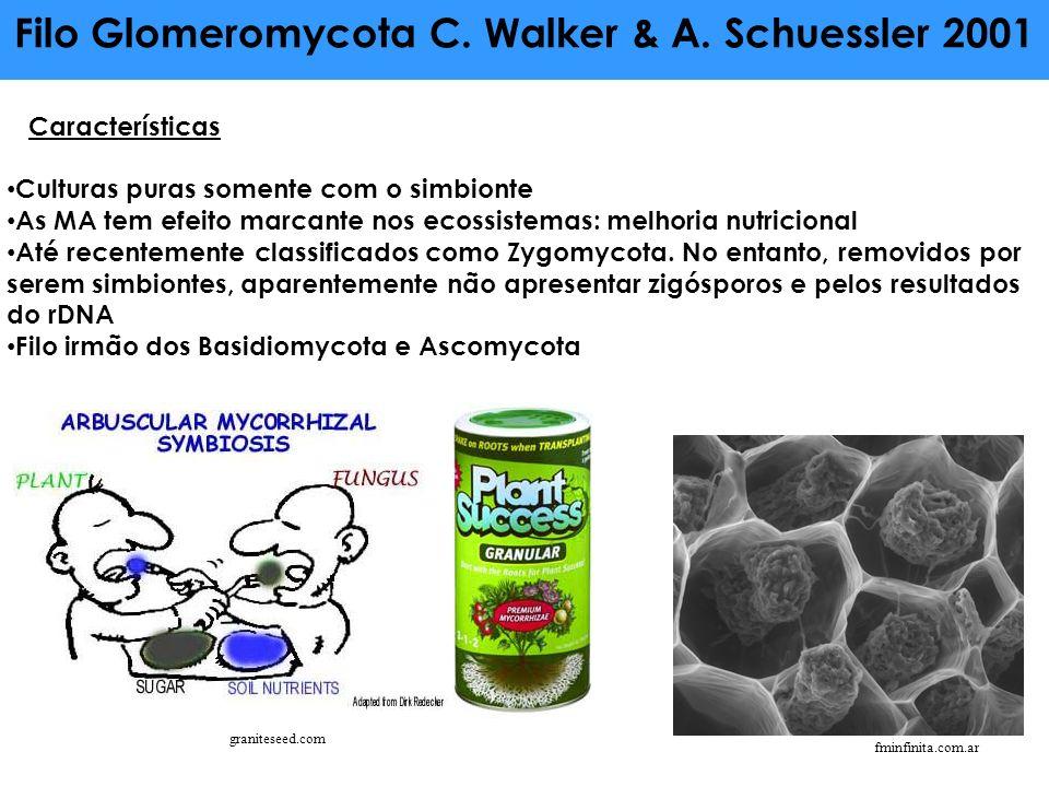 Filo Glomeromycota C. Walker & A. Schuessler 2001 Características Culturas puras somente com o simbionte As MA tem efeito marcante nos ecossistemas: m