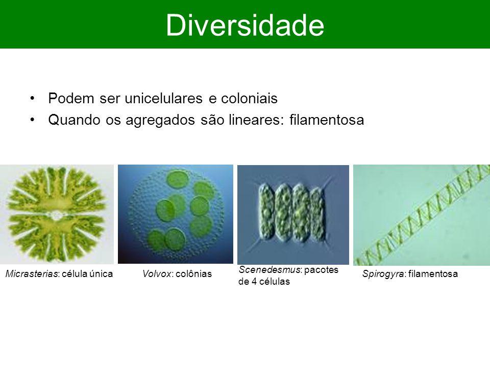 Diversidade Podem ser unicelulares e coloniais Quando os agregados são lineares: filamentosa Micrasterias: célula únicaSpirogyra: filamentosaVolvox: colônias Scenedesmus: pacotes de 4 células