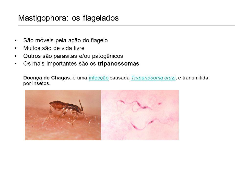 Mastigophora: os flagelados São móveis pela ação do flagelo Muitos são de vida livre Outros são parasitas e/ou patogênicos Os mais importantes são os tripanossomas Doença de Chagas, é uma infecção causada Trypanosoma cruzi, e transmitida por insetos.infecçãoTrypanosoma cruzi