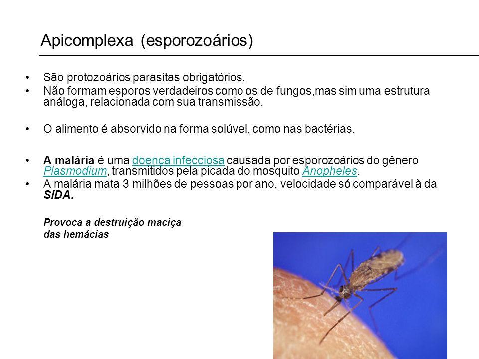 Apicomplexa (esporozoários) São protozoários parasitas obrigatórios. Não formam esporos verdadeiros como os de fungos,mas sim uma estrutura análoga, r