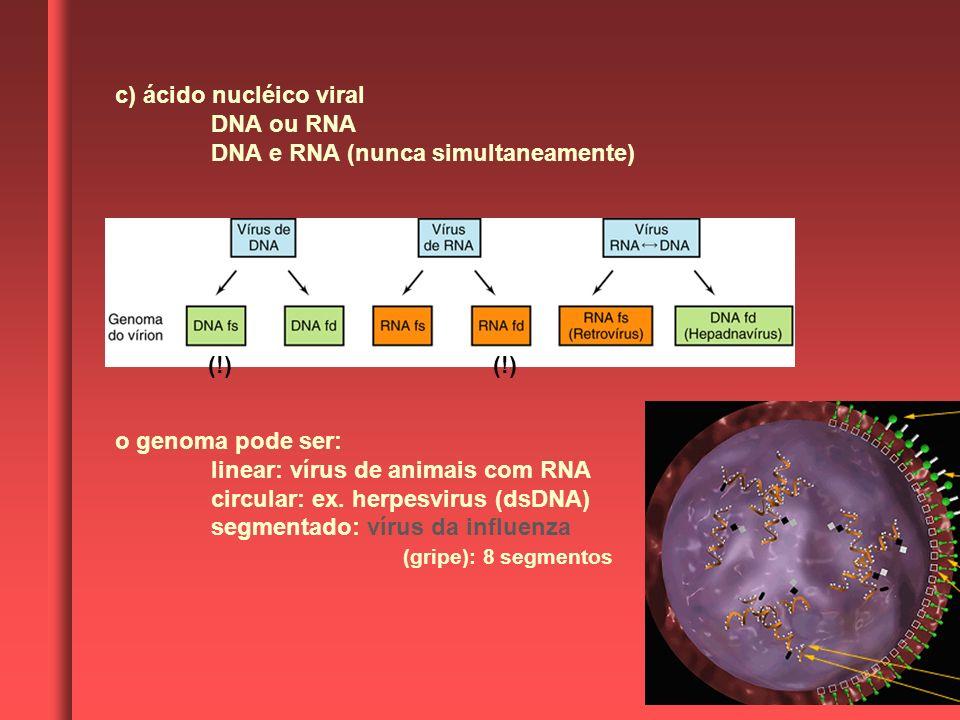 c) ácido nucléico viral DNA ou RNA DNA e RNA (nunca simultaneamente) o genoma pode ser: linear: vírus de animais com RNA circular: ex. herpesvirus (ds