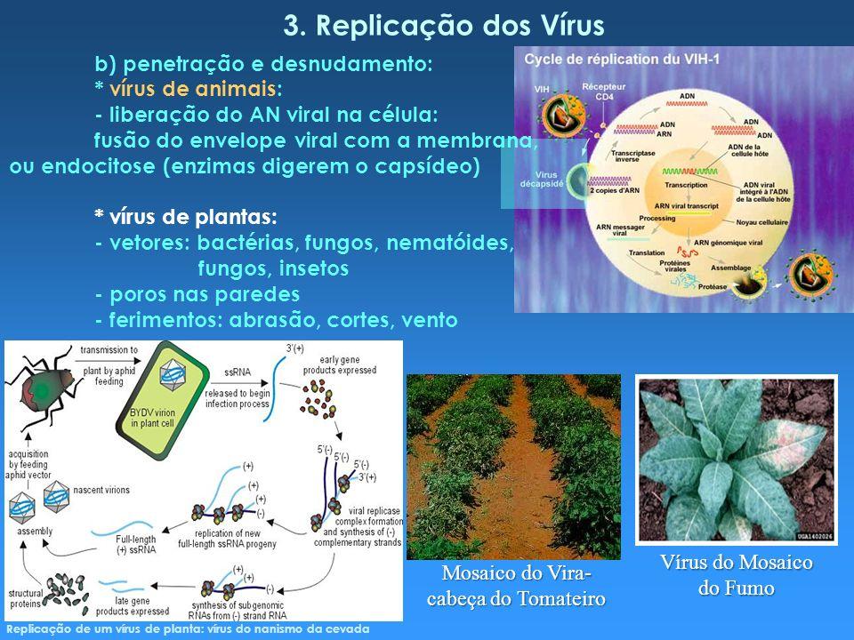 3. Replicação dos Vírus b) penetração e desnudamento: * vírus de animais: - liberação do AN viral na célula: fusão do envelope viral com a membrana, o