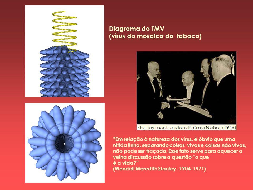 Diagrama do TMV (vírus do mosaico do tabaco) Em relação à natureza dos vírus, é óbvio que uma nítida linha, separando coisas vivas e coisas não vivas,