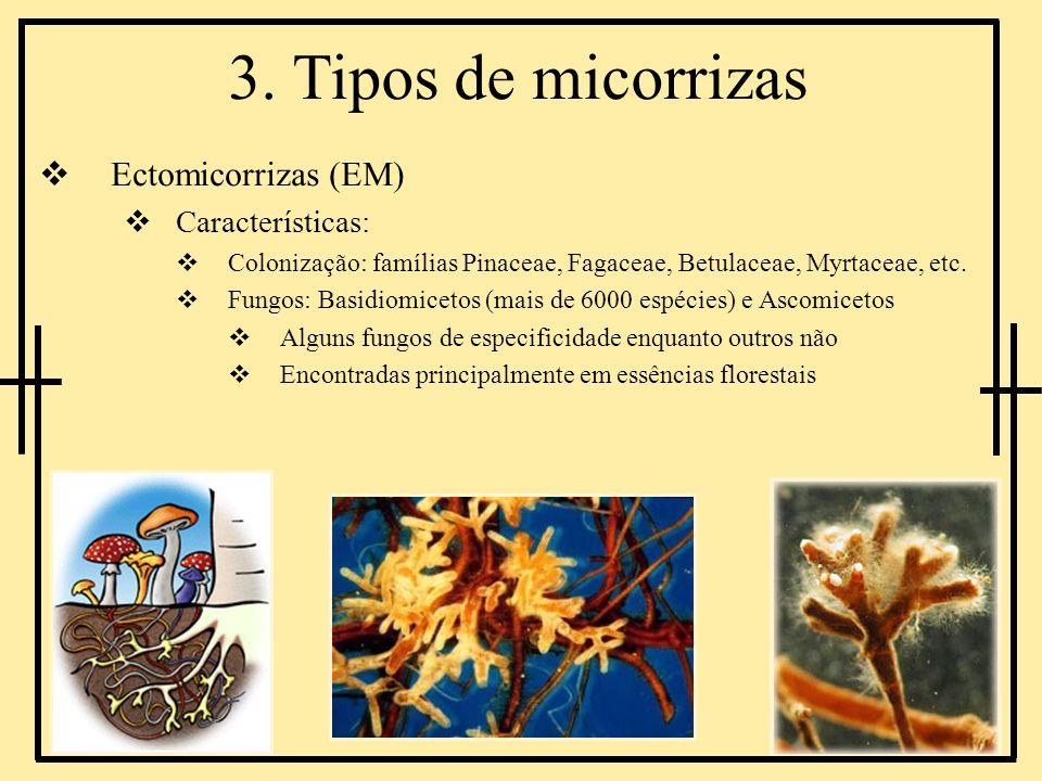 3. Tipos de micorrizas Ectomicorrizas (EM) Características: Colonização: famílias Pinaceae, Fagaceae, Betulaceae, Myrtaceae, etc. Fungos: Basidiomicet