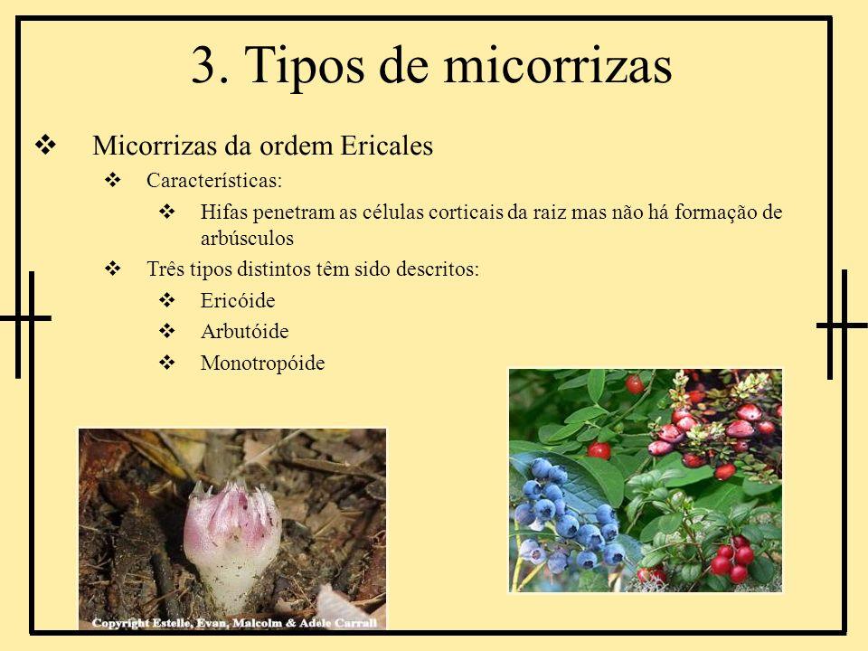 3. Tipos de micorrizas Micorrizas da ordem Ericales Características: Hifas penetram as células corticais da raiz mas não há formação de arbúsculos Trê
