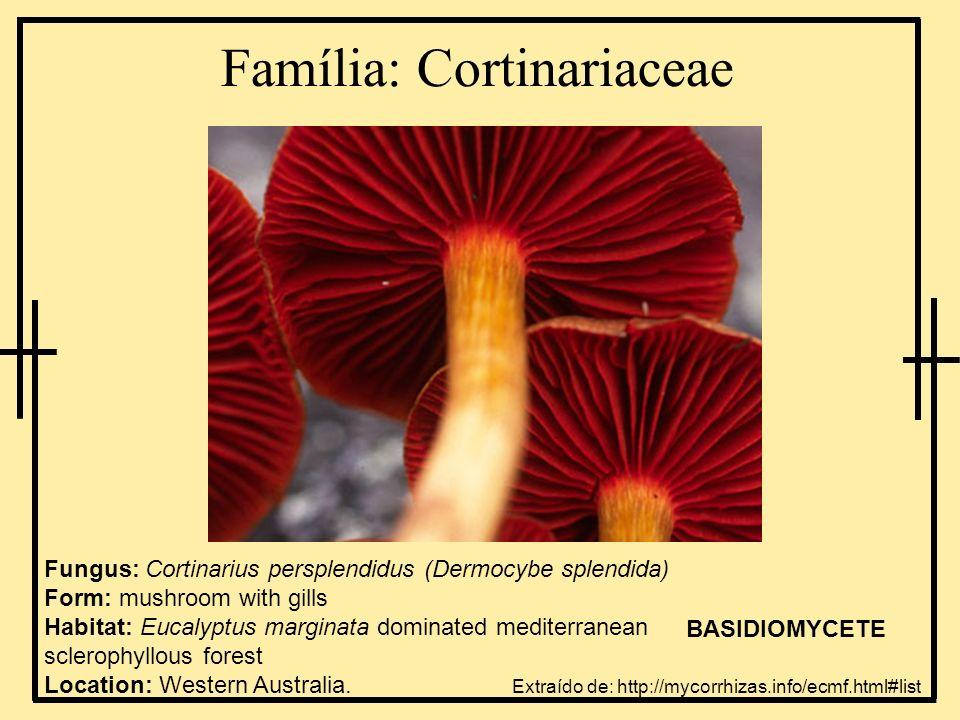 Família: Cortinariaceae Fungus: Cortinarius persplendidus (Dermocybe splendida) Form: mushroom with gills Habitat: Eucalyptus marginata dominated medi