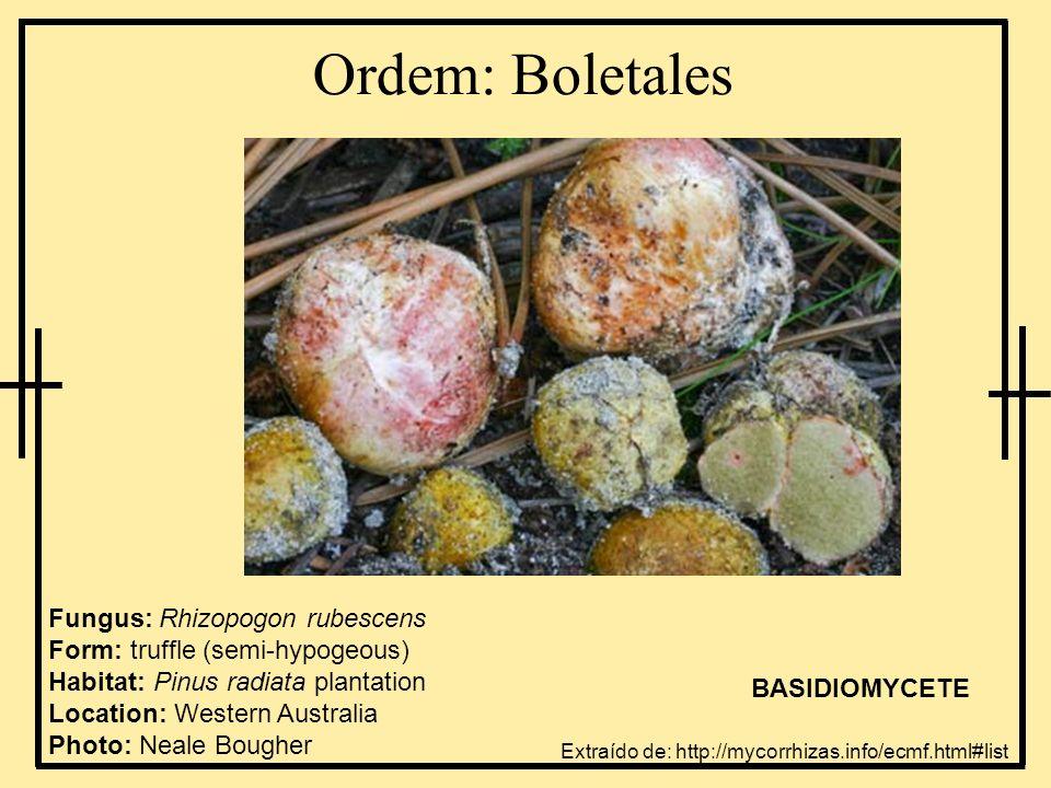 Ordem: Boletales Fungus: Rhizopogon rubescens Form: truffle (semi-hypogeous) Habitat: Pinus radiata plantation Location: Western Australia Photo: Neal
