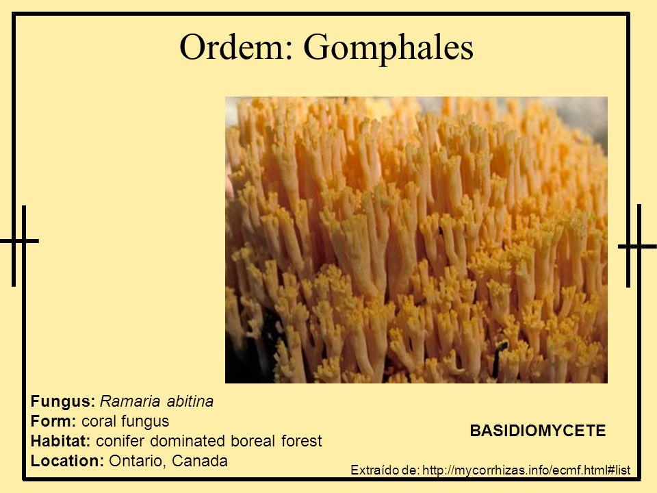 Ordem: Gomphales Fungus: Ramaria abitina Form: coral fungus Habitat: conifer dominated boreal forest Location: Ontario, Canada BASIDIOMYCETE Extraído
