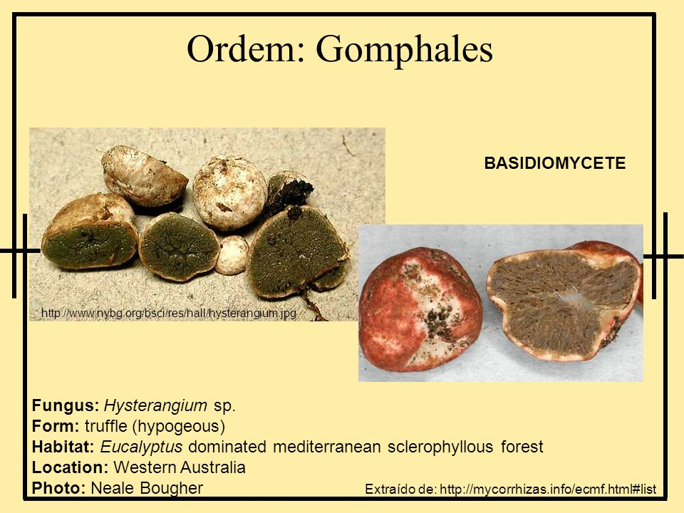 Ordem: Gomphales Fungus: Hysterangium sp. Form: truffle (hypogeous) Habitat: Eucalyptus dominated mediterranean sclerophyllous forest Location: Wester