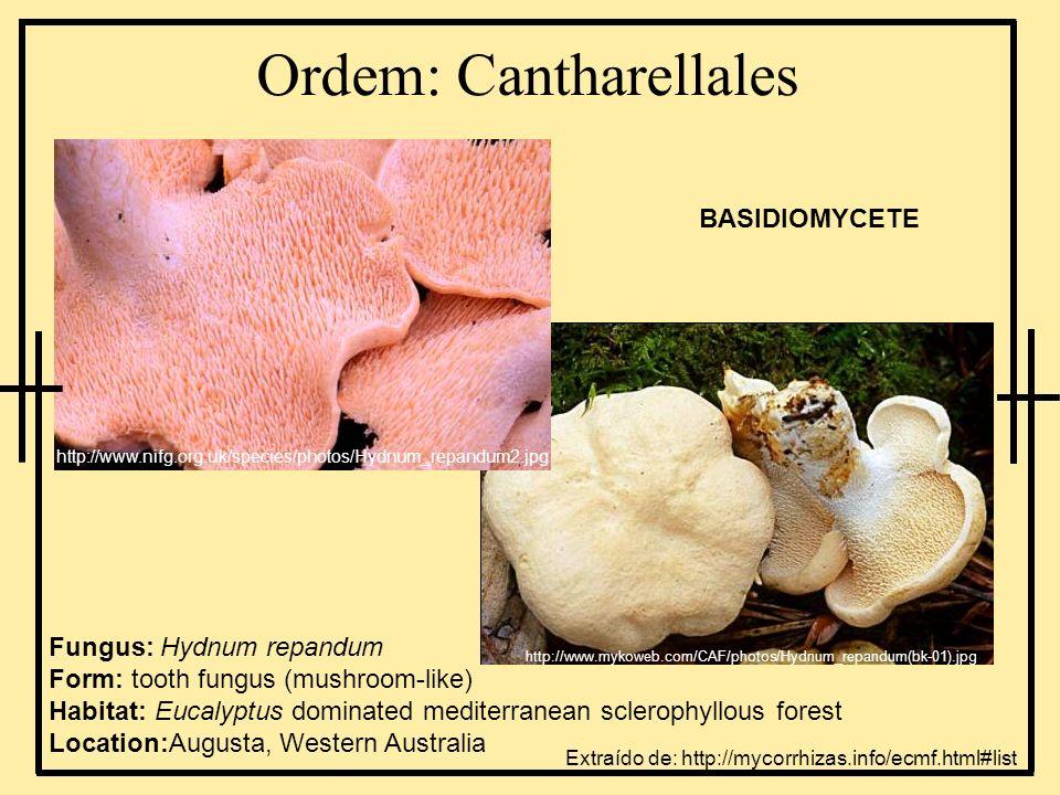 Ordem: Cantharellales Fungus: Hydnum repandum Form: tooth fungus (mushroom-like) Habitat: Eucalyptus dominated mediterranean sclerophyllous forest Loc