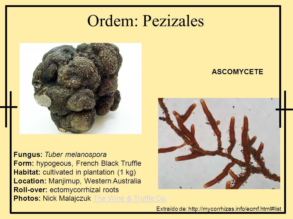 Ordem: Pezizales Fungus: Tuber melanospora Form: hypogeous, French Black Truffle Habitat: cultivated in plantation (1 kg) Location: Manjimup, Western