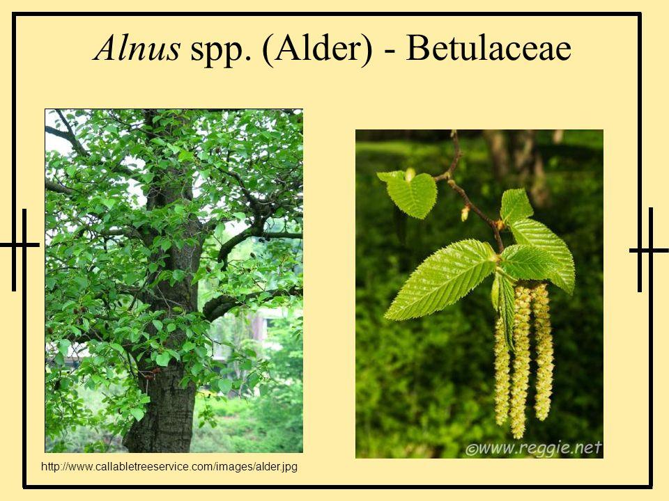 Alnus spp. (Alder) - Betulaceae http://www.callabletreeservice.com/images/alder.jpg