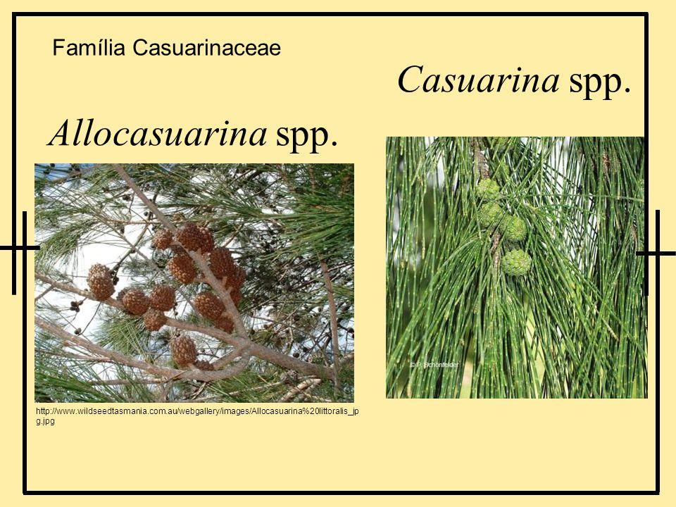 Casuarina spp. Allocasuarina spp. http://www.wildseedtasmania.com.au/webgallery/images/Allocasuarina%20littoralis_jp g.jpg Família Casuarinaceae