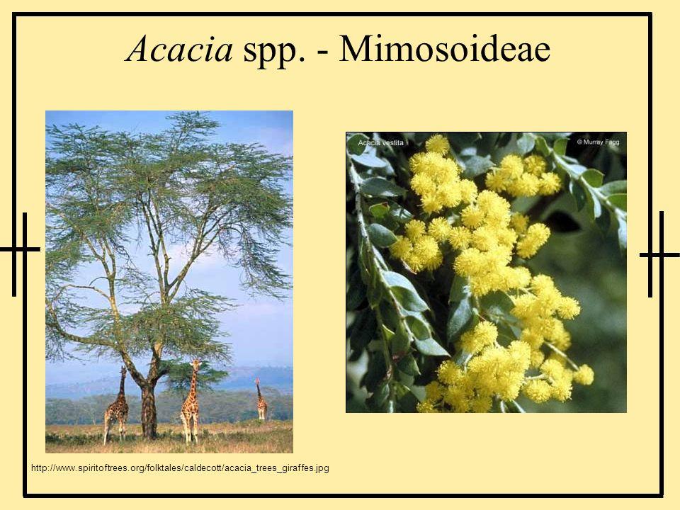 Acacia spp. - Mimosoideae http://www.spiritoftrees.org/folktales/caldecott/acacia_trees_giraffes.jpg