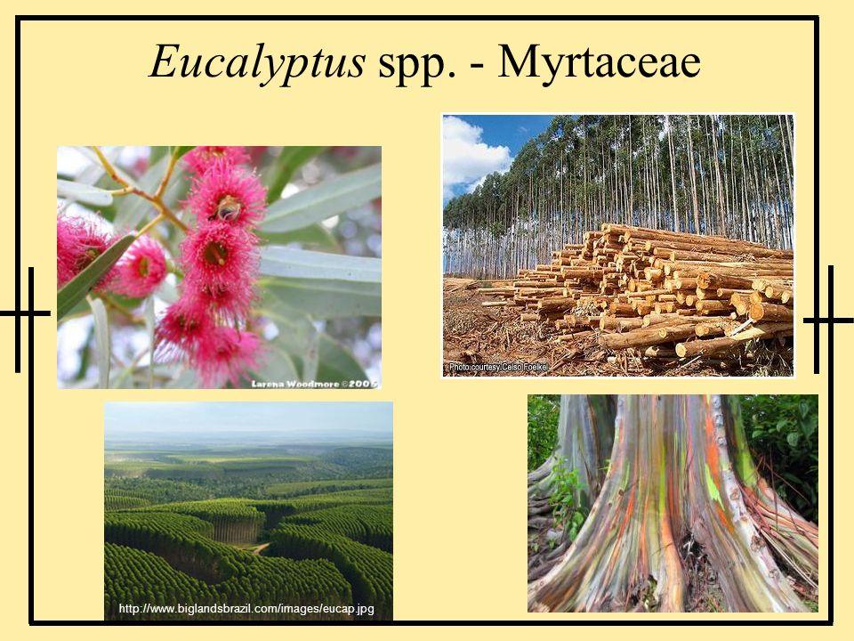 Eucalyptus spp. - Myrtaceae http://www.biglandsbrazil.com/images/eucap.jpg