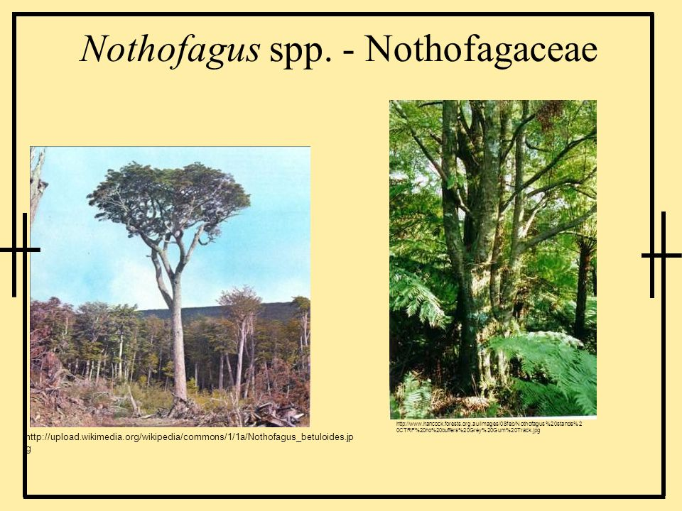 Nothofagus spp. - Nothofagaceae http://upload.wikimedia.org/wikipedia/commons/1/1a/Nothofagus_betuloides.jp g http://www.hancock.forests.org.au/images