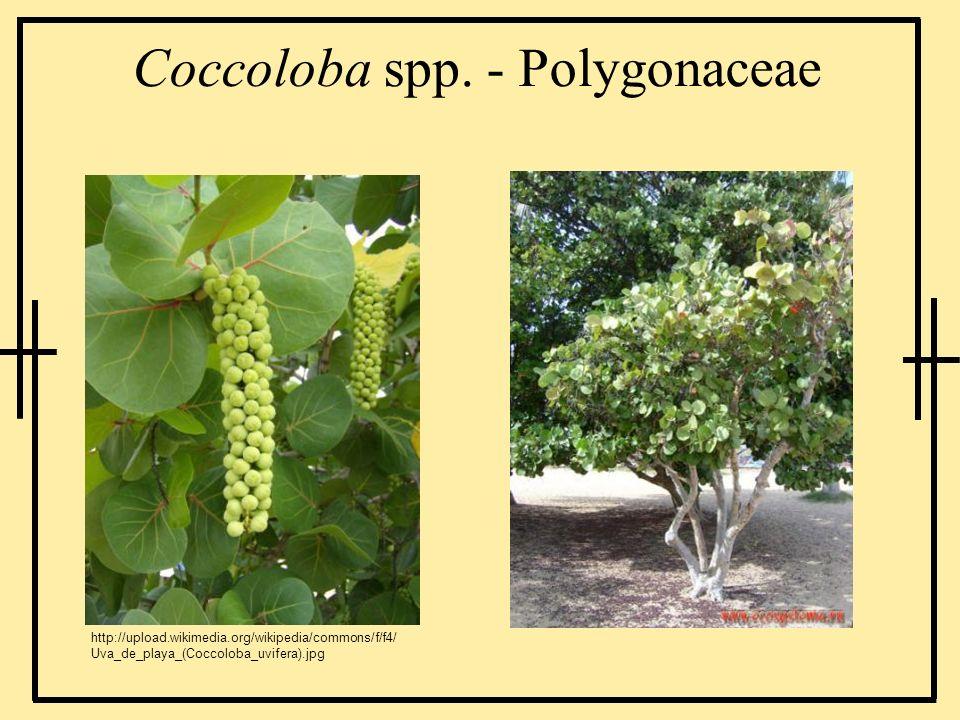 Coccoloba spp. - Polygonaceae http://upload.wikimedia.org/wikipedia/commons/f/f4/ Uva_de_playa_(Coccoloba_uvifera).jpg