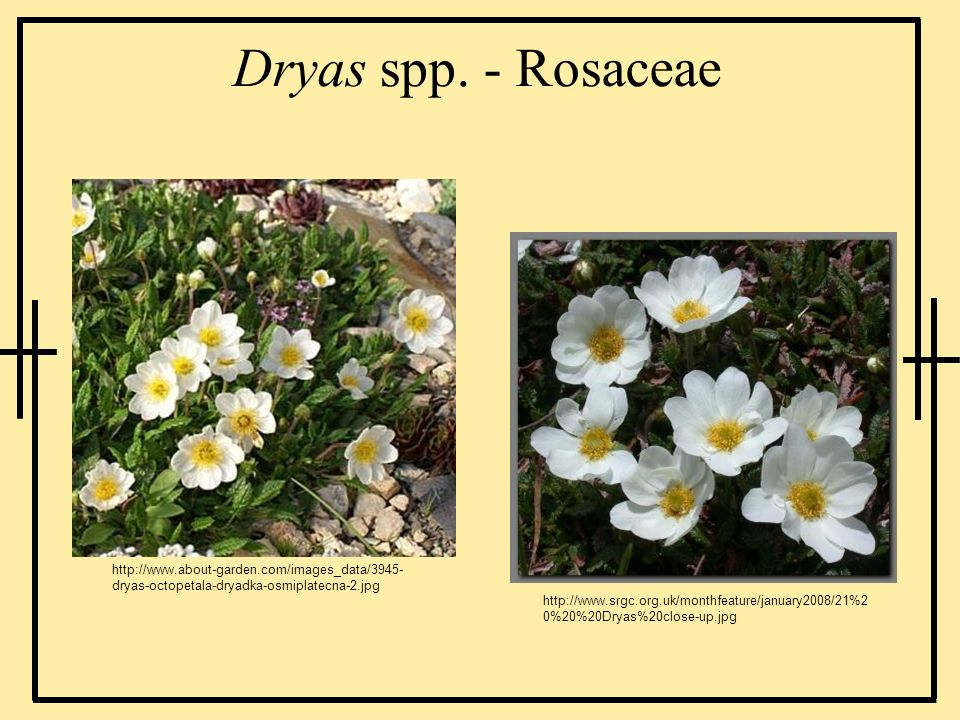 Dryas spp. - Rosaceae http://www.about-garden.com/images_data/3945- dryas-octopetala-dryadka-osmiplatecna-2.jpg http://www.srgc.org.uk/monthfeature/ja
