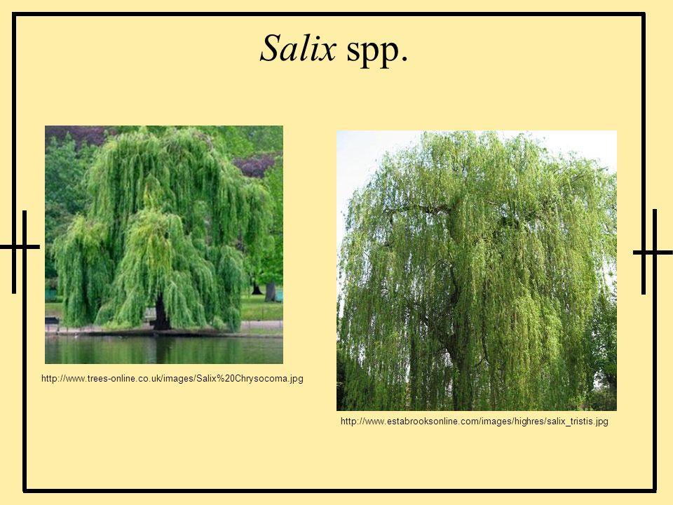 Salix spp. http://www.trees-online.co.uk/images/Salix%20Chrysocoma.jpg http://www.estabrooksonline.com/images/highres/salix_tristis.jpg